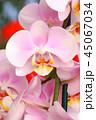 Beautiful tender orchid flower 45067034