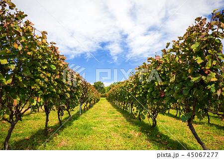 ワインぶどう栽培 45067277