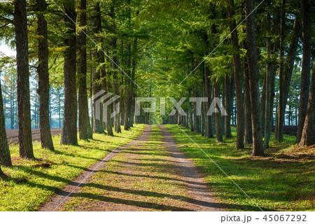 カラマツ並木 並木道 45067292