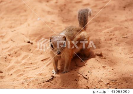 砂漠のハリスレイヨウジリス Antelope Squirrel 45068009