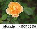 薔薇 モリニュー 45070960