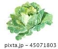 キャベツ 野菜 白バックのイラスト 45071803