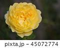 薔薇 ザポエッツワイフ 45072774