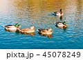 湖 カモ 鴨の写真 45078249
