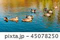 湖 カモ 鴨の写真 45078250