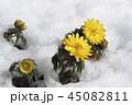 花 フクジュソウ アップの写真 45082811