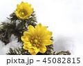 花 フクジュソウ アップの写真 45082815