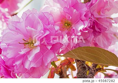枝 春の花 春 45087282