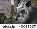 ニホンカモシカ カモシカ 動物の写真 45088067