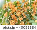 金木犀 花 植物の写真 45092384