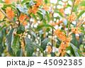 金木犀 花 植物の写真 45092385