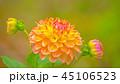 ダリア 花 植物の写真 45106523