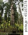羽黒山 杉 木の写真 45107278