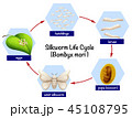 Silkworm life cycle diagram 45108795