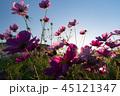 秋桜 コスモス コスモス畑の写真 45121347