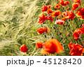 ムギ 大麦 オオムギの写真 45128420