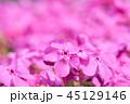 芝桜 開花 花詰草の写真 45129146