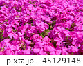 芝桜 花 花畑の写真 45129148