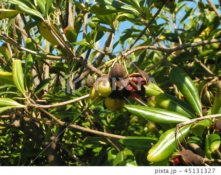 実が裂けて赤い粘液の付いた種が顔を出したトベラの実 45131327