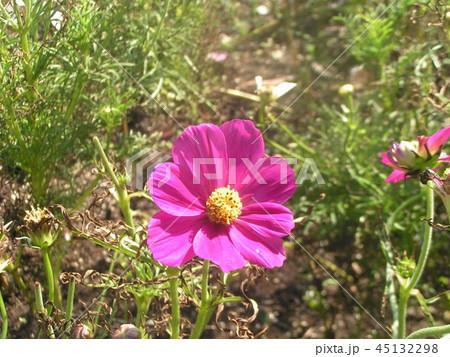 秋の花の代表桃色の花のコスモス 45132298