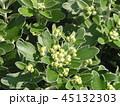 黄色い蕾は海岸の花イソギクの蕾 45132303