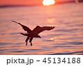 鷲 日の出 飛ぶの写真 45134188