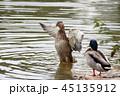 アヒル カモ 鴨の写真 45135912