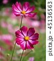 植物 花 センセーションの写真 45136563