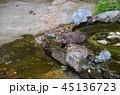 コツメカワウソ カワウソ 動物の写真 45136723