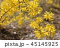 花 黄色 レンギョウの写真 45145925