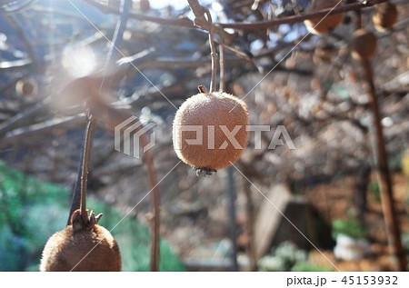 キウイ畑で収穫、新鮮な果物、群馬県南牧村 45153932
