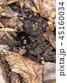 昆虫 虫 甲虫の写真 45160034