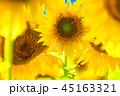 ひまわり 向日葵 植物の写真 45163321