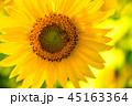 ひまわり 向日葵 植物の写真 45163364