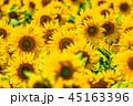 ひまわり 向日葵 向日葵畑の写真 45163396