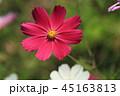 コスモス 花 植物の写真 45163813