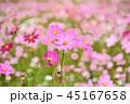 コスモス コスモス畑 秋桜の写真 45167658