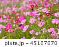 コスモス コスモス畑 秋桜の写真 45167670