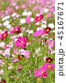 コスモス コスモス畑 秋桜の写真 45167671