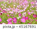 コスモス コスモス畑 秋桜の写真 45167691