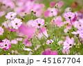 コスモス コスモス畑 秋桜の写真 45167704