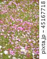 コスモス コスモス畑 秋桜の写真 45167718