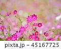 コスモス コスモス畑 秋桜の写真 45167725