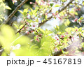 桜 葉桜 花の写真 45167819