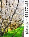 秋ヶ瀬公園(埼玉県さいたま市)の桜の風景 45177188