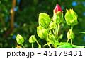 フヨウ(芙蓉) 45178431