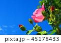 フヨウ(芙蓉) 45178433