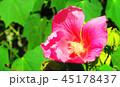 フヨウ(芙蓉) 45178437