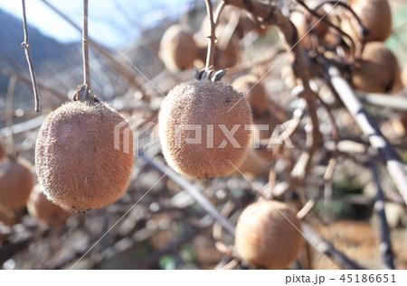キウイ畑で収穫、新鮮な果物、群馬県南牧村 45186651