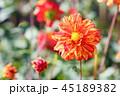 ダリア 花 植物の写真 45189382